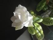 White floral - Magnolia element