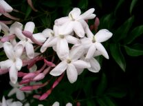 Jasmine blossoms - a note in Unrestricted Woman