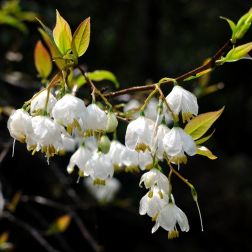Benzoin oil is golden-colored, aromatic, thick, resinous oil obtained from the Benzoin tree whose scientific name is STYRAX BENZOIN. The photo shows the blossoms on the tree. Its chief components are Benzyl Benzoate, Benzoic Acid, Benzaldehyde, Coniferyl Benzoate, Cinnamic Acid and Vanillin. This last component gives it a vanilla-like aroma. (https://www.organicfacts.net/health-benefits/essential-oils/health-benefits-of-benzoin-essential-oil.html)
