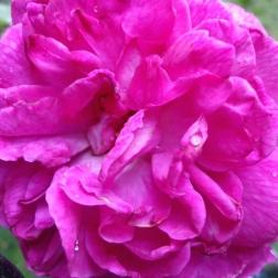 Young Lycidas bloom