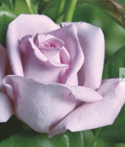 """The """"Blue Rose"""" - more a pale violet than actually blue, is still grown today."""