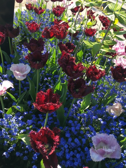 A bed of fringed tulips. (Image by M. Bijman)