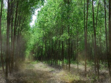 A Eucalyptus plantation in China.