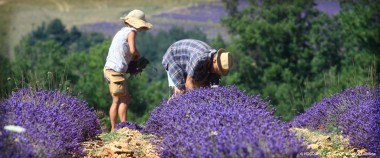The famous lavender fields of Provence.
