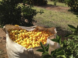 Oranges from Brazil for the production of sweet orange essential oils.