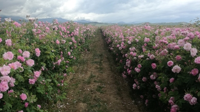 The Kazanlak rose grown for its oil-yielding petals is famous round the world and is one of the most recognizable national symbols of Bulgaria.
